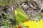 Zitronenfalter, Gonepteryx rhamni