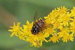 Echte Fliege, männl., Graphomyia maculata