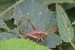Gewöhnliche Strauchschrecke, weibl., Pholidoptera griseoaptera