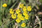 Zypressen-Wolfsmilch, Euphorbia cyparissias