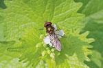 Schwebfliege, männl., Platycheirus peltatus Gruppe