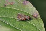 Echte Fliege, Phaonia tuguriorum
