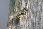 Schwebfliege, Syrphidae sp.