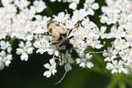 Gefleckter Blütenbock, Pachytodes cerambyciformis