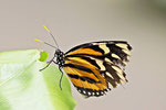 Tiger-Passionsfalter, Heliconius ismenius