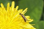Halmwespe, Cephidae sp.