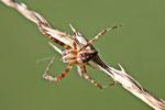 Gartenkreuzspinne, männl., Araneus diadematus