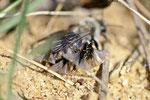 Weidensandbiene, Andrena vaga, styloptisiert