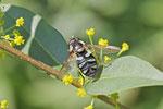 Grüne Breitbauchschwebfliege, weibl., Diadea alneti