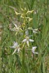 Weiße Waldhyazinthe, Platanthera bifolia