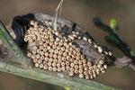 Eier vom Schlehen-Bürstenspinner, Orgyia antiqua