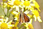 Schwarzkolbiger Braundickkopffalter, Thymelicus lineola