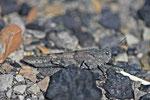 Blaufügelige Sandschrecke, Sphingonotus caerulans