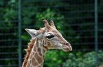 Angola - Giraffe
