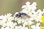 Echte Fliege, Morellia sp.