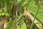 Grünes Heupferd, Larve, weibl., Tettigonia viridissima
