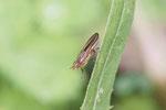 Hornfliege, Limnia unguicornis