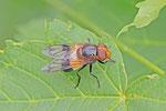 Gemeine Waldschwebfliege, weibl., Volucella pellucens