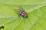 Blumenfliege, Anthomyia cf. procellaris