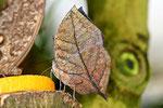 Indischer Blattschmetterling, Unterseite, Kallima inachus