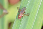 Hornfliege, Tetanocera ferruginea