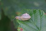 Kantige Laubschnecke, Hygromia cf. cinctella