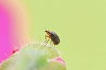 Krummflügelige Halmfliege, Camarota curvipennis