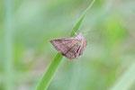 Kreuzblumen-Bunteulchen, Phytometra viridaria