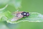 Erz-Schwebfliege, Cheilosia sp.
