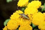 Glasflügelwanze, Stictopleurus punctatonervosus