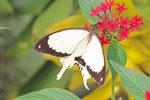 Schein-Schwalbenschwanz, männl., Papilio dardanus
