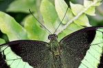 Grüngestreifte Schwalbenschwanz, Papilio palinurus