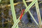 Feuerlibelle, Crocothemis erythraea