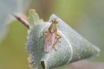 Gelbe Dungfliege, Scathophaga stercoraria