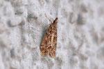 Zünsler, Eudonia mercurella