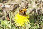 Landkärtchen, Araschnia levana