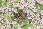 Echte Fliege, männl., Thricops nigrifrons