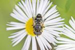 Schwarze Augenfleck-Schwebfliege, Eristalinus sepulchralis
