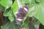 Feinschmecker, weibl., Catonephele numilia