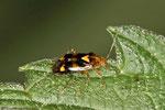 Brennessel-Weichwanze, Liocoris tripustulatus
