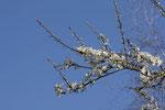 Mirabelle, Prunus domestica ssp. syriaca