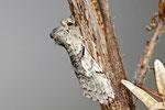 Gelbhorn - Eulenspinner, Achlya flavicornis