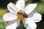 Kleine Keilfleckschwebfliege, männl., Eristalis arbustorum