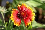 Großblumige Kokardenblume