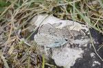 Silbergrüner Bläuling, Polyommatus coridon