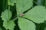 Schwarzauge, Rilaena triangularis