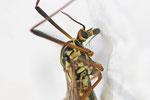Gefleckte Wiesenschnake, Nephrotoma appendiculata