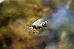 Köcherfliege, Oligotricha striata, während des Schlupfes