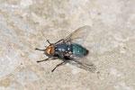 Totenfliege, Cynomyia mortuorum