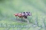 Gepunktete Hornfliege, Trypetoptera punctulata